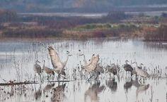 Sandhill Cranes at Cosumnes River Preserve, Photo by Bob Wick, BLM