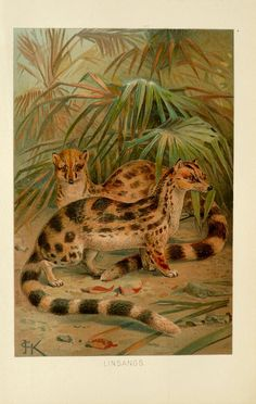 Javanese Lingsang in wild, chromolithograph print, c. 1894