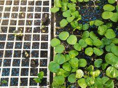 #seedling #shrubs #Euphorbiaceae #gardening  #seeds  #plants  #garden  #seedlings #urbanfarming #hickory #natal #natalhickory #trees #babytrees #Cavacoa  #germination #seeds ##plants #growyourown #sprouts #gardening #seedlings #homegrown #microgreens #garden #grow #plantlife #greens #propagation #bhfyp #healthy #plantsofinstagram Urban Farming, Grow Your Own, Propagation, Shrubs, Seeds, African, Gardening, Fruit, Healthy