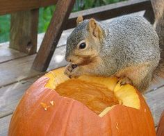squirrel vs pumpkin  how to outwit the squirrels