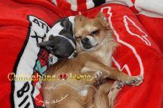 Chihuahuas Love - ¿Se Llevan Bien Los Chihuahuas Cachorros y Adultos?