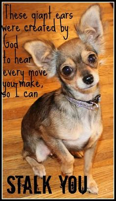 19 Reasons Why Chihuahuas Are The Worst Dogs To Live With too faced chihuahua, chihuahua yorkie mix puppies, chihuahua yorkie mix Chihuahua Quotes, Chihuahua Love, Chihuahua Puppies, Dog Quotes, Yorkie, Cute Puppies, Cute Dogs, Chihuahuas, Cute Funny Animals