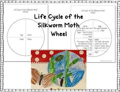 Silkworm Moth Life Cycle Wheel Pinterest FREEBIE Exclusive - Click on this link to download:  https://docs.google.com/file/d/0B2WRHjnafPchYVpadG1hcGF5Q3c/edit