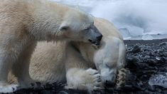 The polar bear, whose overall name is Ursus maritimus, belongs to the bear family and is one of the largest wild animals on earth Especie Animal, Animal Facts, Mundo Animal, Polar Bear Facts, Baby Polar Bears, Polar Bear Weight, Impact Of Global Warming, Polar Bears International, Bear Species