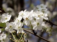 White Crab Apple Blossoms 02