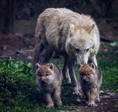 Beautiful mother wolf with her puppies Wolf Photos, Wolf Pictures, Animal Pictures, Animals And Pets, Baby Animals, Cute Animals, Strange Animals, Wolf Spirit, Spirit Animal