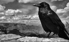 """Chris Aydlett (US) spotted this raven perched on the south rim of the Grand Canyon. He saw the photographic potential but thought the bird would fly away as soon as he got out of his car, so he grabbed his camera. But it stayed, watching him and giving him time to select a rock as a substitute tripod"""