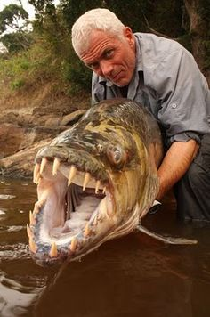 "Goliath Tigerfish: Congo River in Africa Locals say it's the only fish that doesn't fear the crocodile, and will even devour some of the smaller ones! In rare instances, it's also been known to attack humans. Held by Jeremy Wade, host of ""River Monsters"""