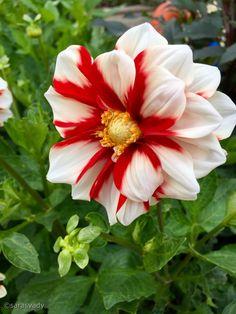 Strange Flowers, Dahlia Flower, Planting Flowers, Beautiful Flowers, Exotic, Bloom, Unique, Plants, Roses