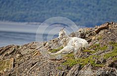 Dall Sheep sit on a cliff overlooking Turnagain Arm near Anchorage Alaska