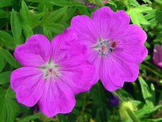 """New Hampshire Purple'"