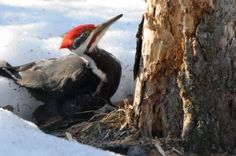 While pileated woodpeckers are generally easily recognizable due to their bright red-crested heads and black-and-white bodies, two recent birds spotted in Alberta are distinctly different looking.