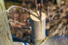 Altoirea pomilor: cand si cum se altoiesc pomii Altoirea pomilor este procesul prin care se imbina tesuturi vegetale ale unor pomi fructiferi pentru obtinerea unei recolte mai bogate. http://ideipentrucasa.ro/altoirea-pomilor-cand-si-cum-se-altoiesc-pomii/