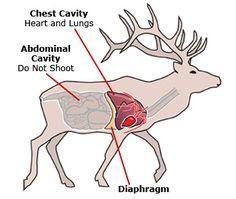 Abdominal Cavity Elk Hunting Tips, Boar Hunting, Moose Hunting, Big Game Hunting, Deer Hunting Blinds, Pheasant Hunting, Turkey Hunting, Archery Hunting, Hunting Season