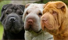 All gorgeous. I want more Shar Pei babies Shar Pei Puppies, Dogs And Puppies, Poodle Puppies, Chinese Dog, Chinese Sharpei, Cachorros Shar Pei, Funny Dogs, Cute Dogs, Baby Animals