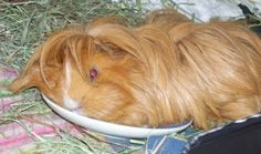 KEEP GUINEA PIGS COOL AND COMFORTABLE IN THE SUMMER HEAT - See more at: http://www.guineapigtoday.com/2012/06/08/keep-guinea-pigs-cool-and-comfortable-in-the-summer-heat/#sthash.bs0rpLIL.dpuf