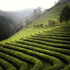 The picturesque green tea fields