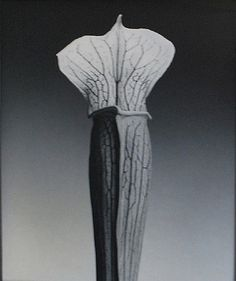 Jack in the pulpit – Robert Mapplethorpe Still Photography, Modern Photography, Stunning Photography, Flower Images, Flower Photos, Patti Smith, Black And White Portraits, Black And White Photography, Robert Mapplethorpe Photography