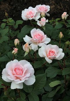 English Style Garden Ideas – World of Flowers Rose Flower Photos, Rose Pictures, Flower Images, Beautiful Rose Flowers, Exotic Flowers, Amazing Flowers, Beautiful Gardens, Pink Roses, Pink Flowers