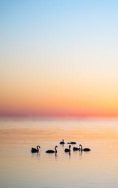 Swans Reunion byAn La   Beautiful!!! O/