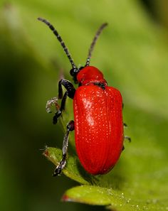 Red Lily Leaf Beetle - Lilioceris lilii Lilioceris lilii (Coleoptera - Chrysomelidae) is a Eurasian chrysomelid beetle whose larvae develop on cultivated and wild lilies (Lilium spp.), Fritillaria...
