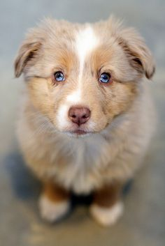 I will name her Myrtle!! One day, one day I will have a Mini-Australian Shepard named Myrtle.