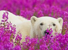 White Wolf : Canadian Photographer Captures Polar Bears Playing In Flower Fields