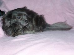 Foxy Bella Rose is an adoptable Pomeranian Dog in Cumberland, RI. You can fill out an adoption application online on our official website. 1/3/2012: Foxy Bella Rose has been waiting a long time for he...