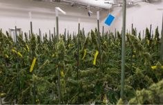 A Major U.s. Stock Exchange is Listing a Weed Company For the First Time Ever
