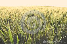 Photo about Wheat field in the evening sunlight expanding over the horizon. Image of farmland, crop, agriculture - 72035626 Wheat Fields, Agriculture, Herbs, Stock Photos, Photography, Outdoor, Image, Outdoors, Herb