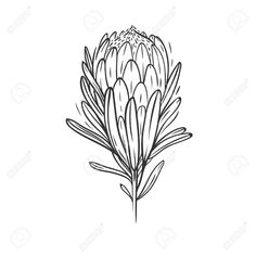 Stock Vector Protea flower isolated on white Stock Vector - 90672508 Flower Drawing Images, Australian Native Flowers, Botanical Drawings, Botanical Art Drawing, Protea Art, Plant Drawing, Flower Drawing Tutorials, Linocut Art, Flower Sketches
