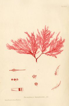Antique prints of nature printed seaweeds by Henry Bradbury 1859 - Delesseria hypoglossum
