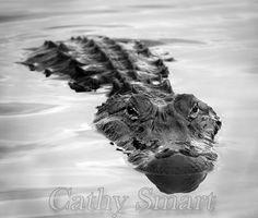 Alligator, Louisiana Bayous