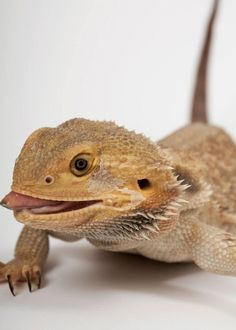 This bearded dragon has two roommates, a cat and a tattooed man.