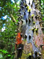 spiny tree at Lake Sandoval in Tambopata Reserve