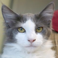Hi, I'm Marvin! I'm a 5 month old neutered male gray and white Domestic Medium Hair.