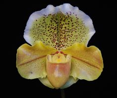 Orchid: Paphiopedilum (Telstar 'Orbit' x Crazy Jolly 'Butterscotch') - Flickr - Photo Sharing!