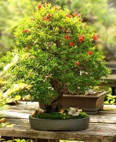 Bonsai Orange Tree