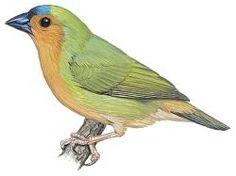 Tawny-breasted Parrotfinch (Erythrura hyperythra)
