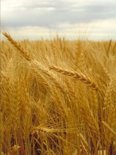 Kansas Wheat Field - Kansas produces more wheat than any other state.