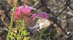 Agreste (Hipparchia Semelle) - Archipel du Frioul