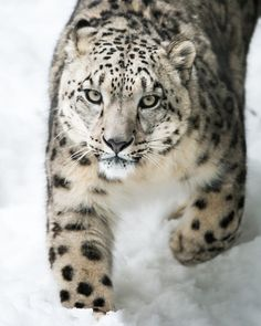 (via 500px / Snow Leopard on the Prowl III by Abeselom Zerit)