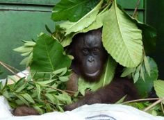 Pelangsi, who was rescued from a snare where he was trapped for 10 days without food or water, tries to hide under the foliage in his cage whenever the vets approach him.