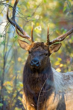 101A2690 - Bull elk.  ©Jerry Mercie**