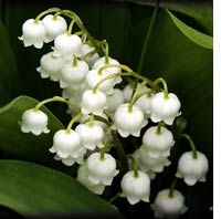 My favorite-lily of the valley. They have the most incredible smell!