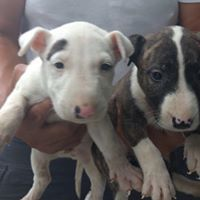 Mini Bull Terrier Puppies For Sale In St Catharines Ontario