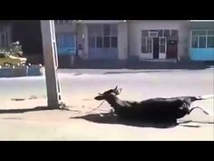 Cow kick the Boy and Hit the Cycle then See Police Reaction