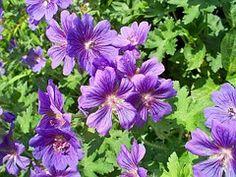 Blue Geranium, Perennial Geranium