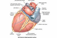 Bildergebnis für pulmonary veins   pulmonary veins   Pinterest