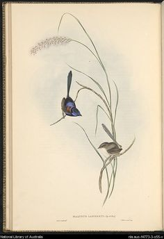 Malurus lamberti: Vig: et Horsf:. Plate from Gould, John, 1804-1881. The Birds of Australia : in seven volumes. by John Gould.
